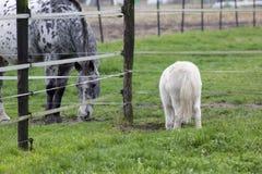 Δύο που τρώνε τα άλογα Στοκ φωτογραφία με δικαίωμα ελεύθερης χρήσης