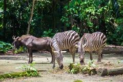 Δύο που τρώνε τα zebras και ένα μόνιμο antilope GNU Στοκ Φωτογραφίες