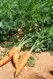 Δύο πράσινα φύλλα καρότων στο έδαφος την ηλιόλουστη ημέρα Τομέας καρότων κλείστε επάνω Τοπ όψη Στοκ Φωτογραφίες