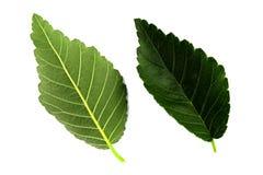 Δύο πράσινα φύλλα λευκών που απομονώνονται από την άσπρη πλευρά υποβάθρου, κορυφών και κατώτατων σημείων του φύλλου στοκ φωτογραφία με δικαίωμα ελεύθερης χρήσης