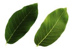 Δύο πράσινα φύλλα ξύλων καρυδιάς που απομονώνονται από την άσπρη πλευρά υποβάθρου, κορυφών και κατώτατων σημείων του φύλλου στοκ φωτογραφία με δικαίωμα ελεύθερης χρήσης