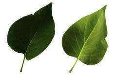 Δύο πράσινα φύλλα της πασχαλιάς που απομονώνεται από την άσπρη πλευρά υποβάθρου, κορυφών και κατώτατων σημείων του φύλλου στοκ φωτογραφία
