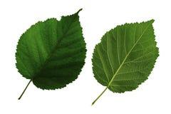 Δύο πράσινα φύλλα του βατόμουρου που απομονώνεται στο άσπρο υπόβαθρο, τη χαμηλότερη και ανώτερη πλευρά του φύλλου στοκ εικόνες με δικαίωμα ελεύθερης χρήσης