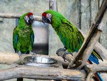 Δύο πράσινα millitaris ara παπαγάλων που τρώνε από ένα κύπελλο, εστίαση ο Στοκ Εικόνα