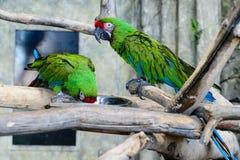 Δύο πράσινα millitaris ara παπαγάλων που τρώνε από ένα κύπελλο, εστίαση ο Στοκ Εικόνες