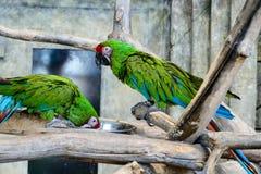 Δύο πράσινα millitaris ara παπαγάλων που τρώνε από ένα κύπελλο, εστίαση ο Στοκ φωτογραφίες με δικαίωμα ελεύθερης χρήσης