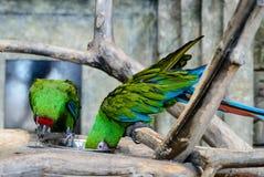 Δύο πράσινα millitaris ara παπαγάλων που τρώνε από ένα κύπελλο, εστίαση ο Στοκ εικόνα με δικαίωμα ελεύθερης χρήσης