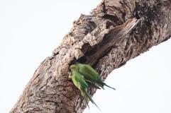 Δύο πράσινοι παπαγάλοι εσκαρφάλωσαν σε έναν παλαιό κορμό δέντρων Στοκ Φωτογραφία