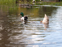 Δύο πρασινολαίμες κλείνουν επάνω σε μια λίμνη, ένα αρσενικό και ένα θηλυκό, με ένα Bobbi Στοκ Εικόνα