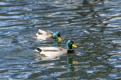 Δύο πρασινολαίμες στη λίμνη Στοκ Εικόνες