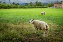 Δύο πρόβατα ή κριοί σε έναν τομέα κοντά σε ένα αγροτικό σπίτι στοκ εικόνα με δικαίωμα ελεύθερης χρήσης