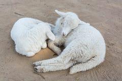 Δύο πρόβατα κοιμούνται στο αγρόκτημα στοκ εικόνες με δικαίωμα ελεύθερης χρήσης