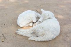 Δύο πρόβατα κοιμούνται στο αγρόκτημα στοκ εικόνα με δικαίωμα ελεύθερης χρήσης