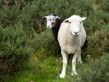 Δύο πρόβατα περίεργα κοιτάζουν επίμονα στη φωτογραφική μηχανή Στοκ φωτογραφία με δικαίωμα ελεύθερης χρήσης