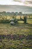 Δύο πρόβατα που βάζουν στη χλόη κατά τη διάρκεια του χειμώνα στοκ εικόνες
