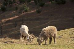 Δύο πρόβατα που ταΐζουν με τη χλόη μαζί, υπόβαθρο λόφων Στοκ Φωτογραφία