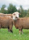 Δύο πρόβατα σε ένα λιβάδι Στοκ Εικόνες