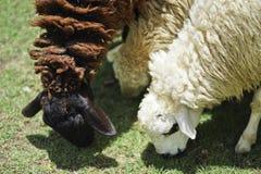 Δύο πρόβατα στη φύση στο λιβάδι Στοκ Φωτογραφίες