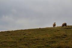 Δύο πρόβατα στο λιβάδι βουνών σε Zlatibor, Σερβία Αγροτική ΤΣΕ στοκ εικόνες