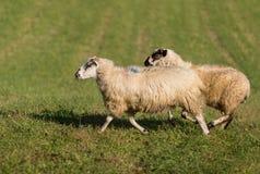 Δύο πρόβατα & x28 Ovis aries& x29  Τρέξιμο που αφήνεται Στοκ Εικόνες