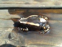 Δύο-ριγωτός βάτραχος Στοκ Εικόνα