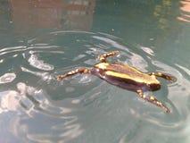 Δύο-ριγωτός βάτραχος Στοκ Εικόνες