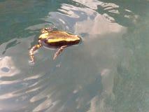 Δύο-ριγωτός βάτραχος Στοκ εικόνες με δικαίωμα ελεύθερης χρήσης