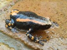 Δύο-ριγωτός βάτραχος Στοκ Φωτογραφία