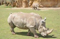 Δύο ρινόκεροι Στοκ Εικόνες