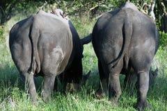 Δύο ρινόκερος, εθνικό πάρκο Kruger Στοκ φωτογραφία με δικαίωμα ελεύθερης χρήσης