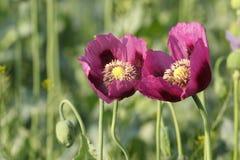 Δύο ρόδινα λουλούδια παπαρουνών οπίου στοκ φωτογραφία