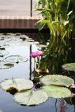 Δύο ρόδινα λουλούδια Lotus που αυξάνονται στη μέση μιας λίμνης στον κήπο που περιβάλλεται από τα μαξιλάρια κρίνων Στοκ Εικόνες