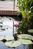 Δύο ρόδινα λουλούδια Lotus που αυξάνονται στη μέση μιας λίμνης στον κήπο που περιβάλλεται από τα μαξιλάρια κρίνων Στοκ εικόνες με δικαίωμα ελεύθερης χρήσης