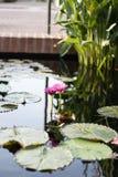 Δύο ρόδινα λουλούδια Lotus που αυξάνονται στη μέση μιας λίμνης στον κήπο που περιβάλλεται από τα μαξιλάρια κρίνων Στοκ Φωτογραφία