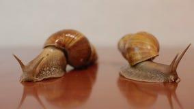 Δύο σαλιγκάρια ahatina απόθεμα βίντεο