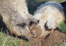 Δύο σγουροί χοίροι σκάβουν στη γη Στοκ Φωτογραφίες