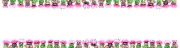 Δύο σειρές των σπονδυλικών στηλών ενός κάρδου με τα ρόδινα και ροδανιλίνης χρώματα, ανωτέρω και κατωτέρω στοκ φωτογραφία
