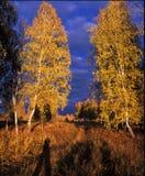 Δύο σημύδες Στοκ φωτογραφία με δικαίωμα ελεύθερης χρήσης
