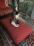 Δύο σιαμέζες γάτες αδελφών που κάθονται σε Οθωμανό Στοκ φωτογραφία με δικαίωμα ελεύθερης χρήσης