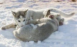 Δύο σιβηρικά γεροδεμένα σκυλιά παιχνιδιού υπαίθρια Στοκ Φωτογραφίες