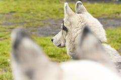 Δύο σιβηρικά huskys που κρύβονται στο θήραμά τους Στοκ φωτογραφία με δικαίωμα ελεύθερης χρήσης