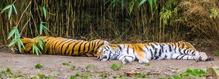 Δύο σιβηρικές τίγρες που κοιμούνται μαζί στο έδαφος, διακυβευμένο ζωικό specie από τη Σιβηρία στοκ εικόνα με δικαίωμα ελεύθερης χρήσης