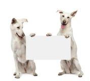 Δύο σκυλιά διασταύρωσης που κάθονται και που κρατούν Στοκ φωτογραφία με δικαίωμα ελεύθερης χρήσης