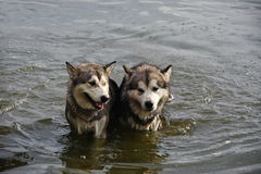 Δύο σκυλιά περιμένουν τη βροχή στο νερό Στοκ Φωτογραφίες