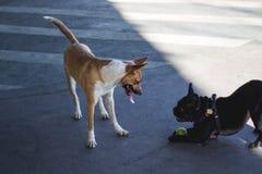 Δύο σκυλιά που παίζουν το ένα με το άλλο στοκ εικόνα με δικαίωμα ελεύθερης χρήσης