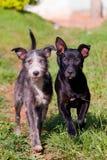 Δύο σκυλιά που περπατούν στη χλόη στοκ φωτογραφία
