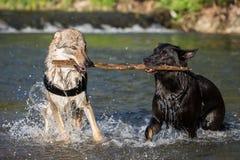 Δύο σκυλιά στο νερό που υποστηρίζει για έναν κλάδο Στοκ εικόνες με δικαίωμα ελεύθερης χρήσης