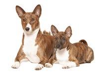 Δύο σκυλιά basenji Στοκ Εικόνες