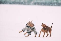 Δύο σκυλιά - καφετιά μικροσκοπική ελάχιστη καρφίτσα Pinscher Pincher που παίζει και που τρέχει από κοινού Στοκ Εικόνες