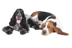 Δύο σκυλιά (κυνηγόσκυλο μπασέ και αγγλικό σπανιέλ κόκερ) Στοκ φωτογραφία με δικαίωμα ελεύθερης χρήσης